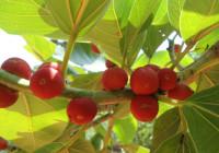 ficus_benghalensis_banyan_fruits