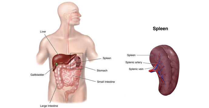 ayurvedic remedy for spleen enlargement / splenomegaly | ayurpedia, Skeleton